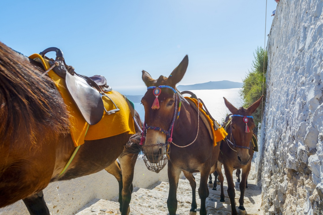 'Greece Santorini island in Cyclades, Donkeys waiting for tourists for a ride in Fira' - Santorin
